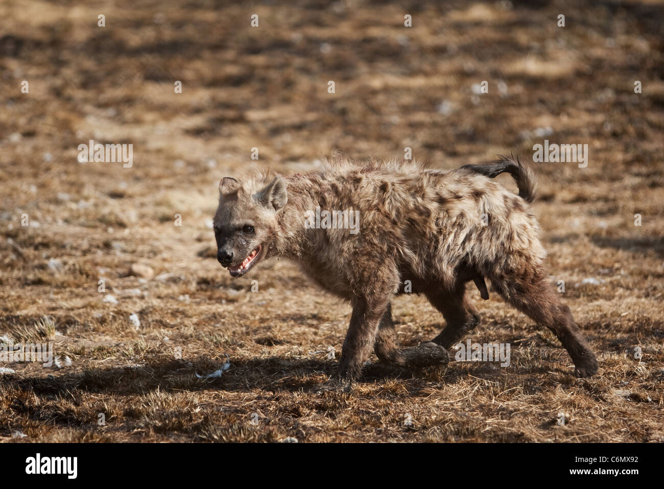 Hyena in aggressive stance during dominance fight - Stock Image