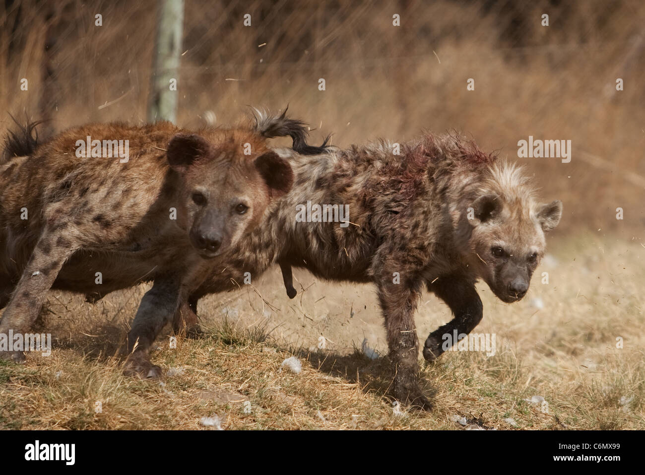 Hyenas in aggressive stance during dominance fight - Stock Image