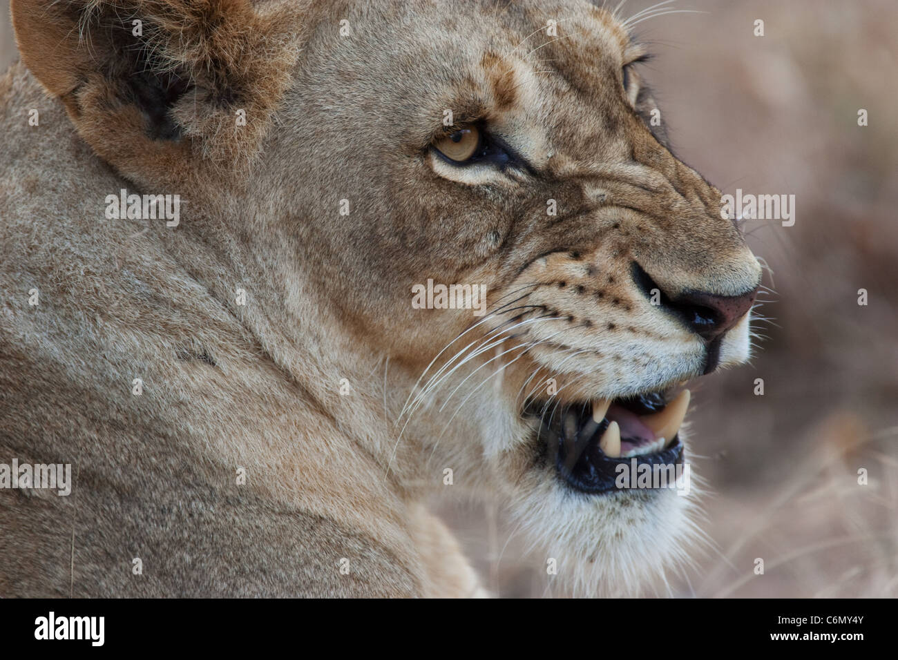 Snarling lioness close-up - Stock Image