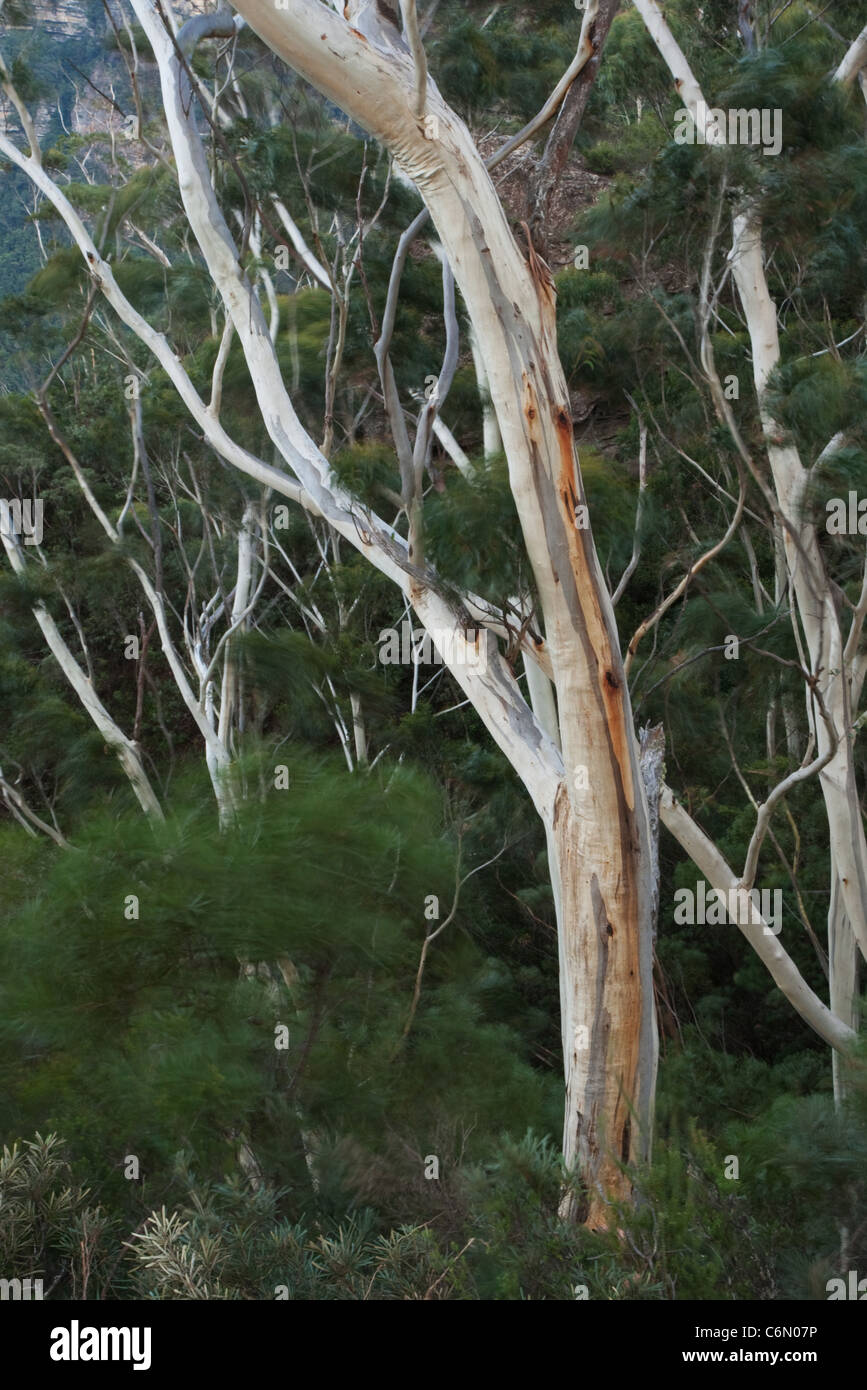 Blue gum trees with movement of the bushes in the wind - Stock Image