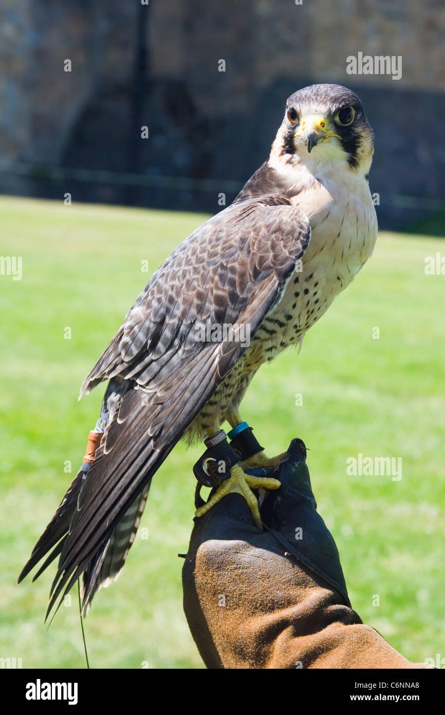 Captive Peregrine Falcon on display at Alnwick Castle, Alnwick, Northumberland, England. - Stock Image