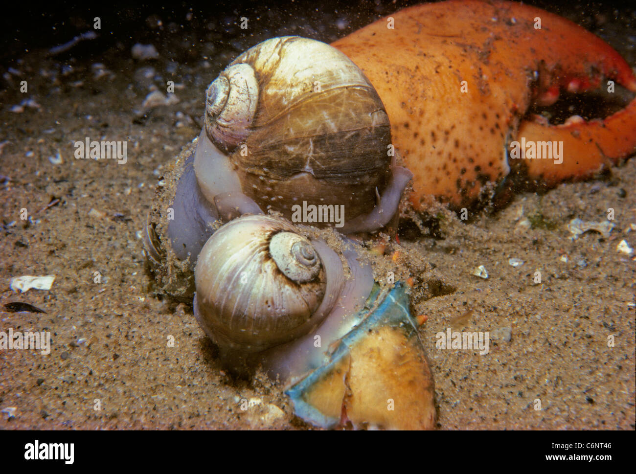 Northern moon Snails (Euspira heros) scavenging on a lobster claw. New England, Atlantic Ocean Stock Photo