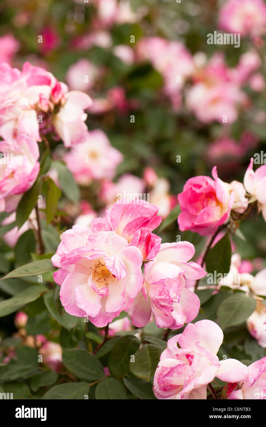 Pink and white rose in flower in The Shrub Rose Garden, RHS Rosemoor ...