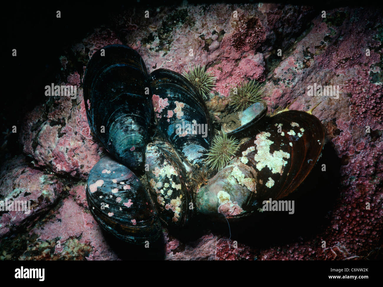 Ribbed mussels (Aulacomya ater) attached to substrate. New England (USA) - North Atlantic Ocean - Stock Image