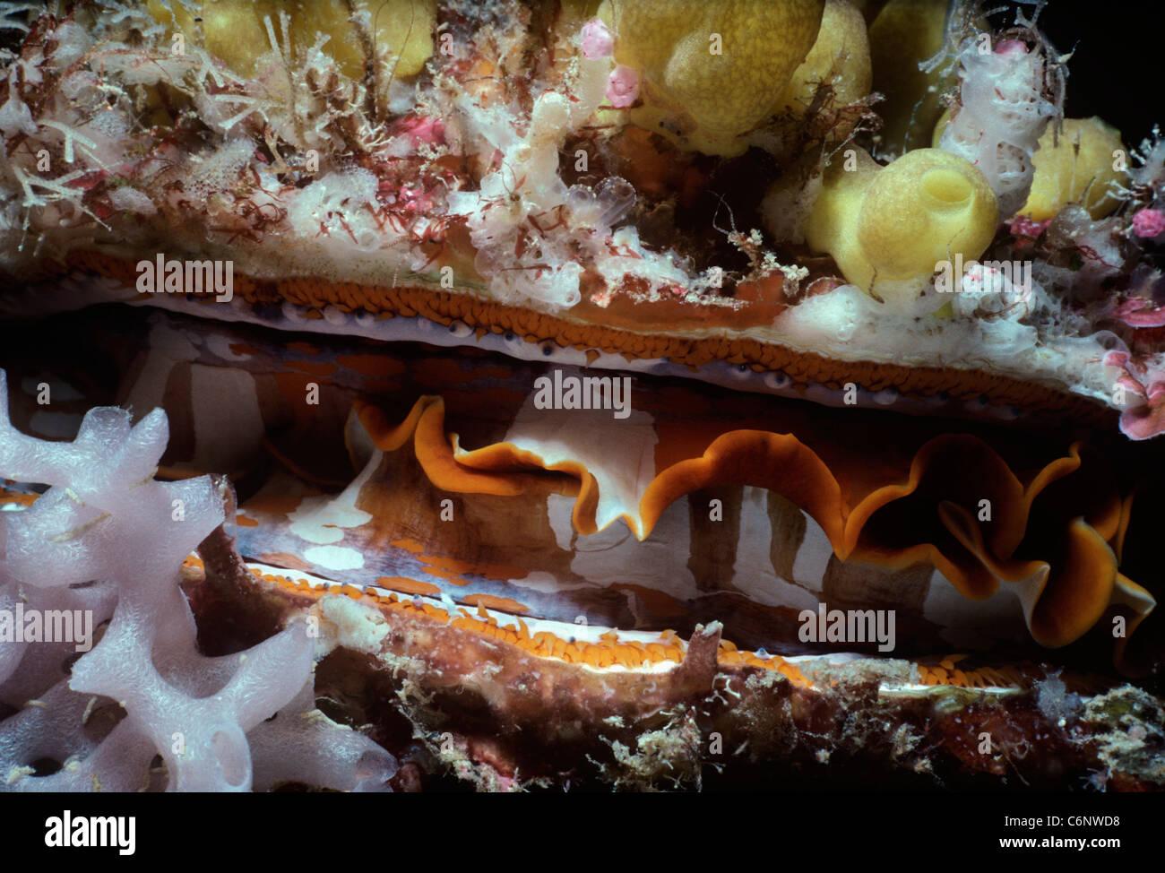 Thorny Oyster (Spondylus varius) (mantle) filter-feeding at night. Sipadan Island, Borneo - South China Sea - Stock Image