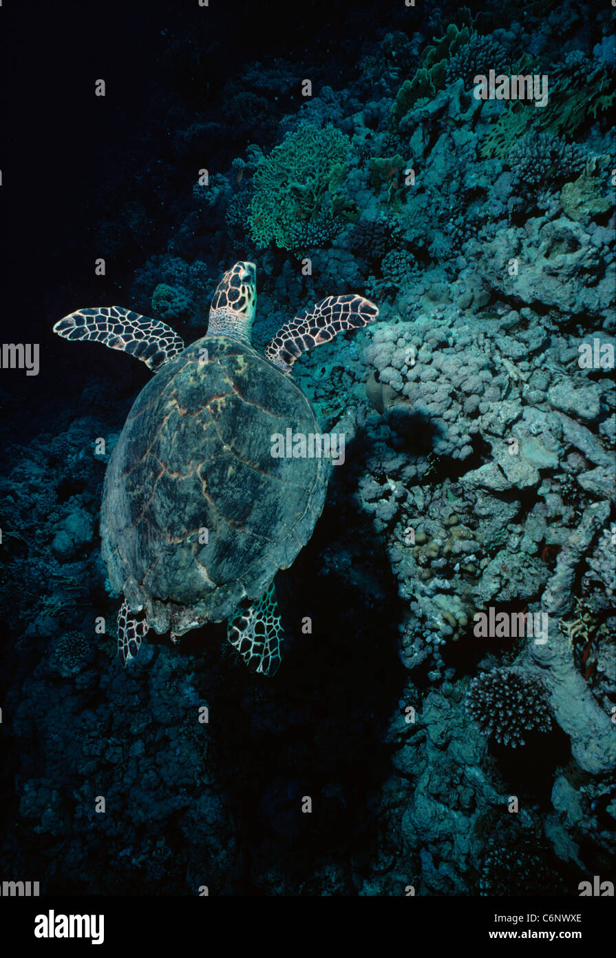 Hawksbill Turtle (Eretmochelys imbricata) swimming near a coral reef at night. Egypt, Red Sea - Stock Image