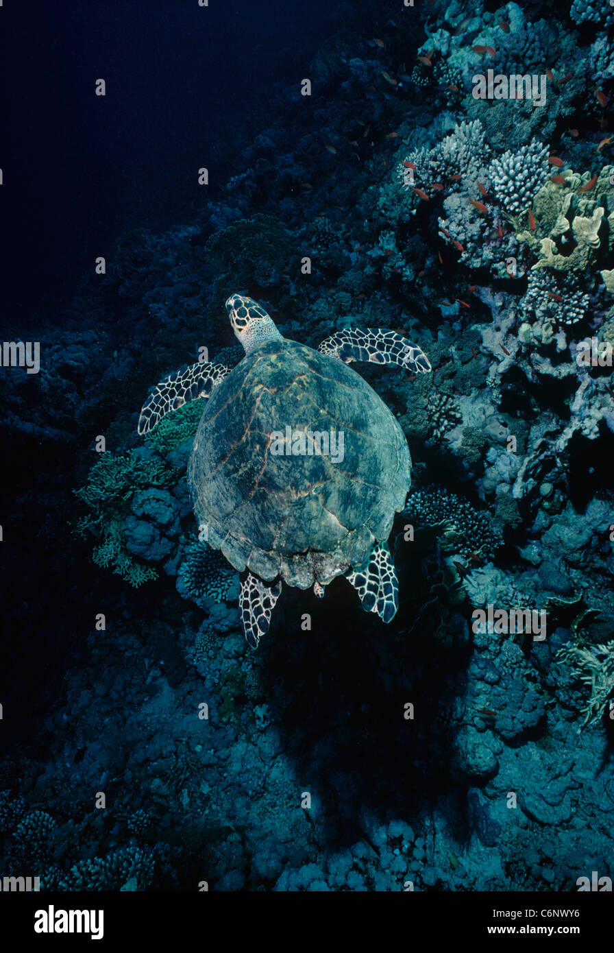 Hawksbill Turtle (Eretmochelys imbricata) swimming over a coral reef. Egypt, Red Sea - Stock Image