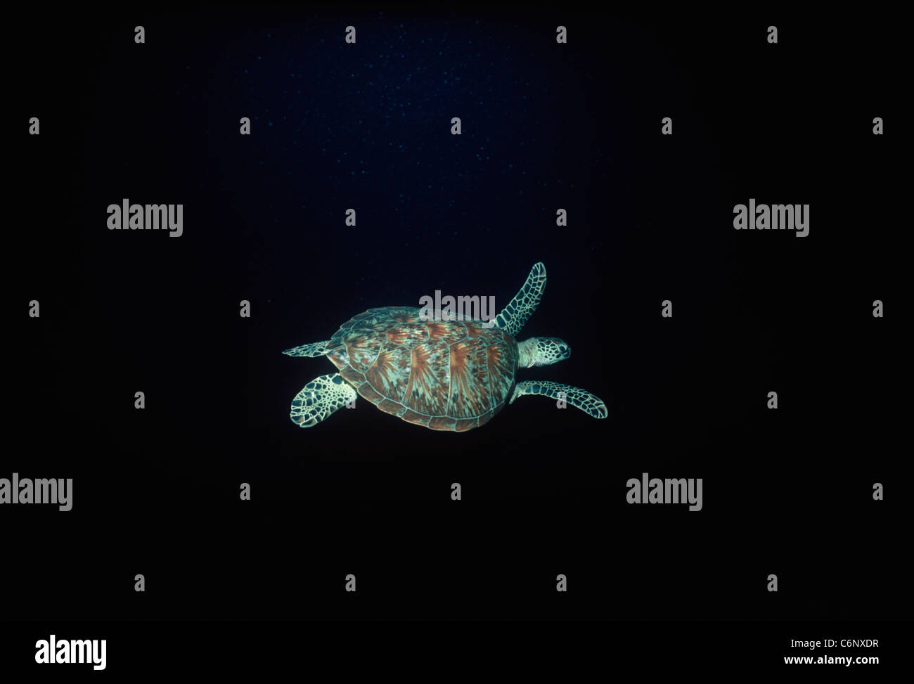 Hawksbill Turtle (Eretmochelys imbricata) swimming in the open ocean at night. Sipadan Island, Borneo, South China - Stock Image