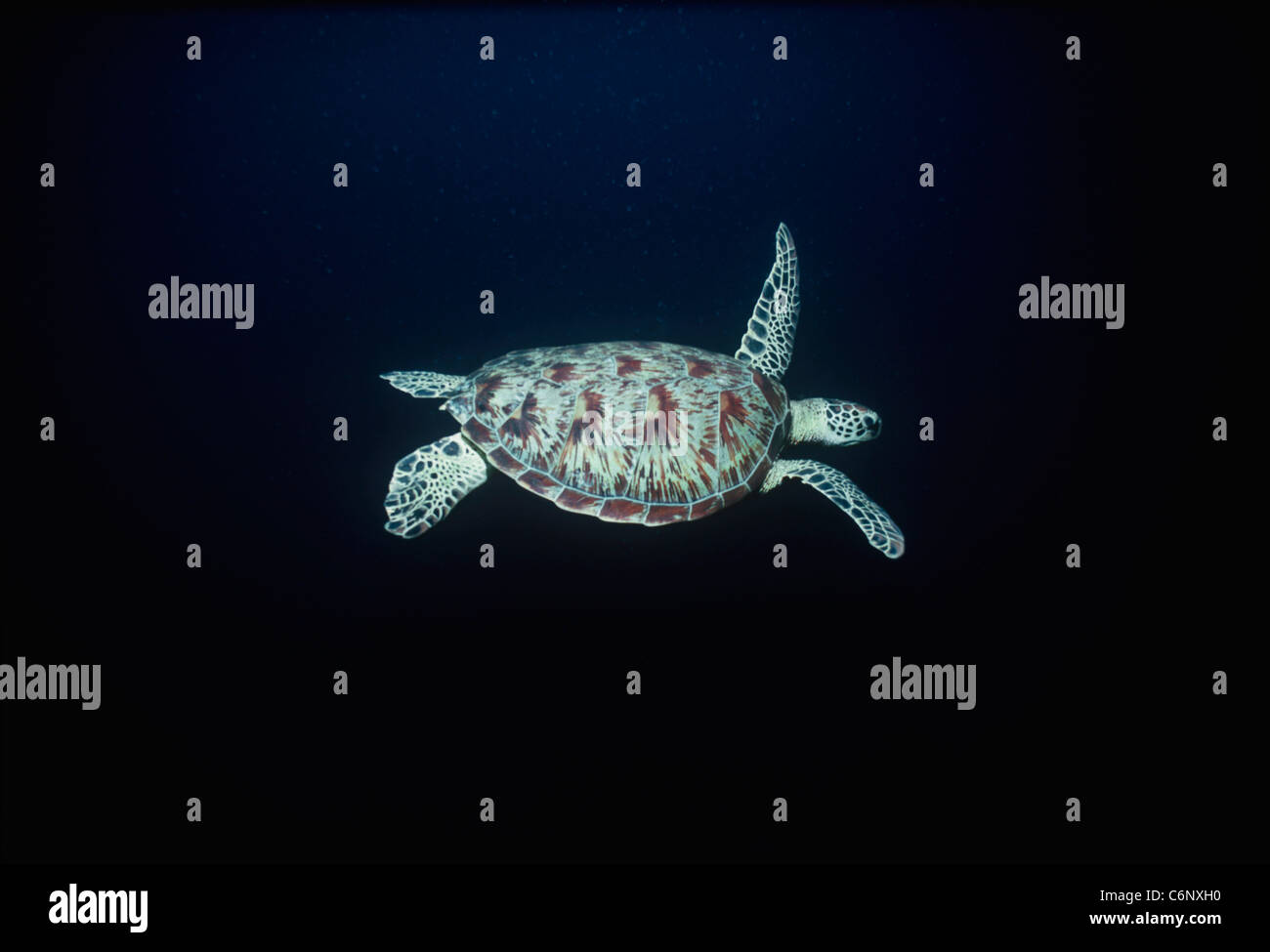 Green Turtle (Chelonia mydas) swimming in the open ocean at night. Sipadan Island, Borneo, South China Sea - Stock Image