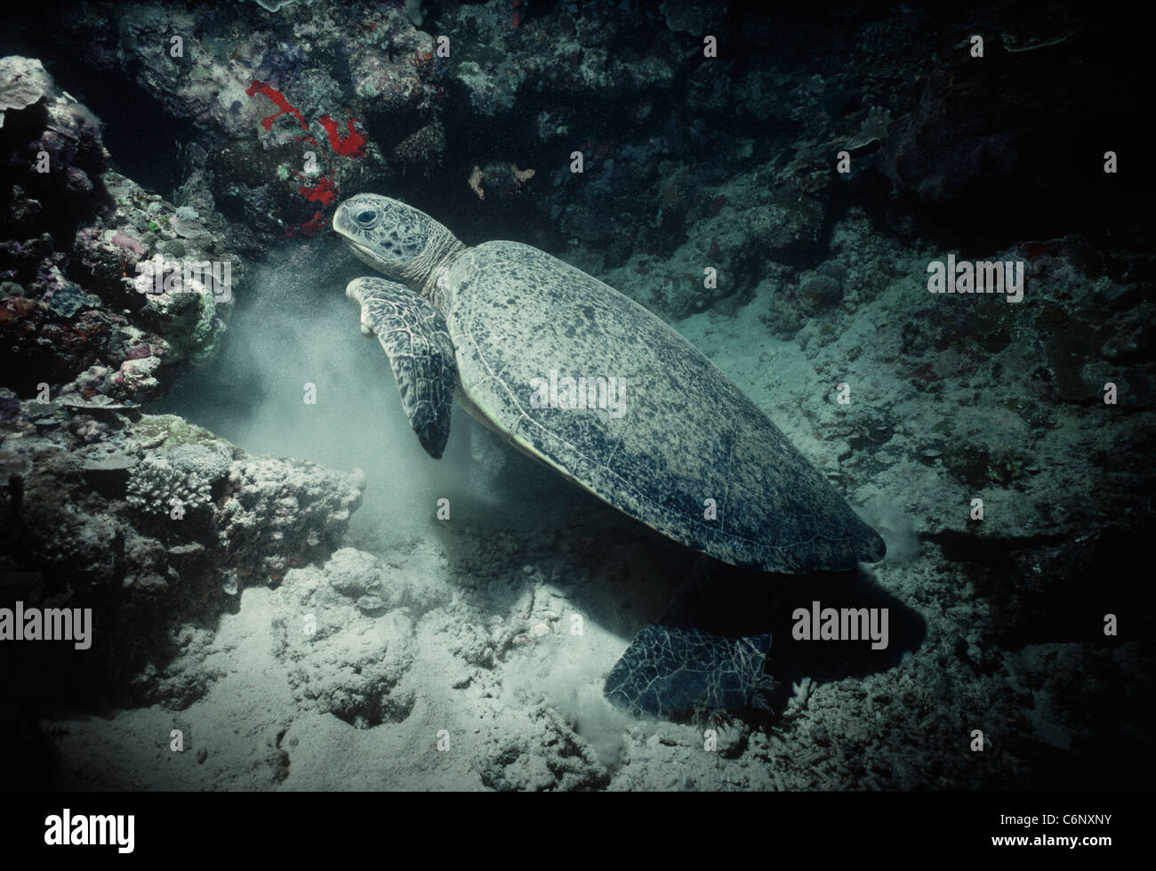 Green Turtle (Chelonia mydas) coming out of an underwater cave. Sipadan Island, Borneo, South China Sea - Stock Image