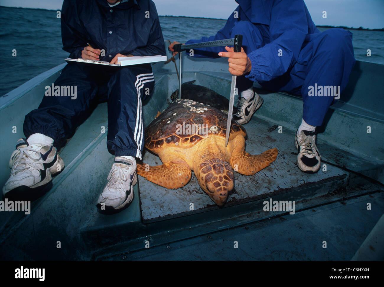 Students measure a Loggerhead Turtle (Caretta caretta) caught for tagging. University of Central Florida Program Stock Photo