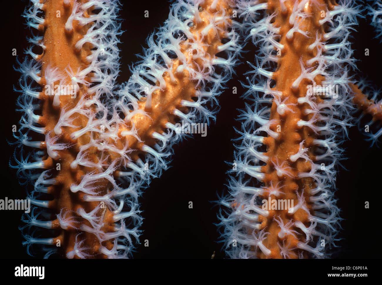 Gorgonian Coral Gorgonacea Polyps Open And Feeding On Plankton