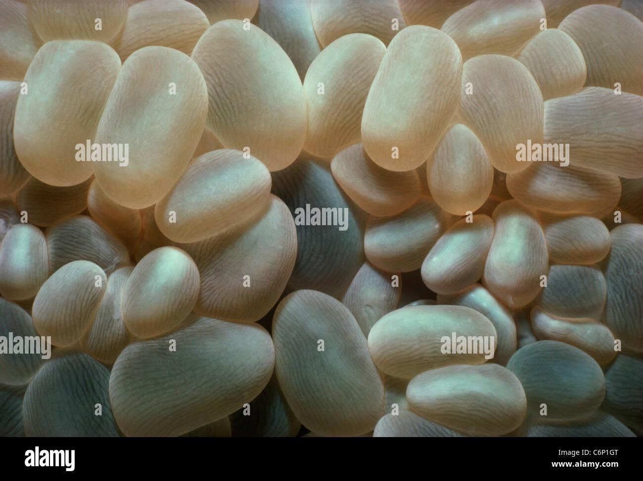 Bubble Coral (Plerogyra sinuosa). Red Sea, Egypt - Stock Image