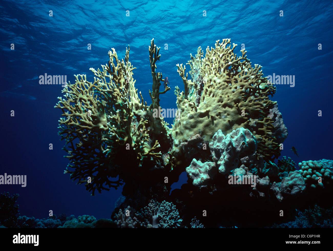 Fire Coral (Millepora tenella). Caribbean Sea, Bahamas - Stock Image