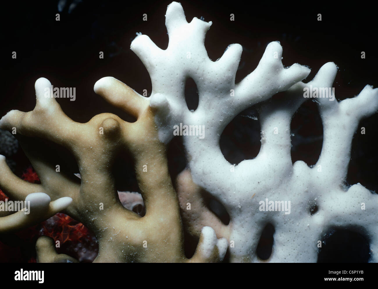 Coral Bleaching: Ramified Fire Coral (Millepora tenella) beginning to bleach. Egypt, Red Sea Stock Photo