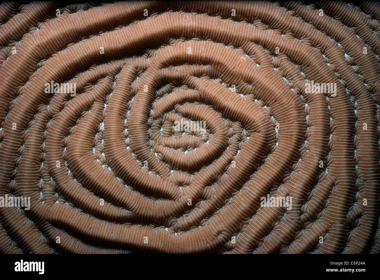 Spiral Coral. Florida Keys, Florida, USA, Atlantic Ocean - Stock Image