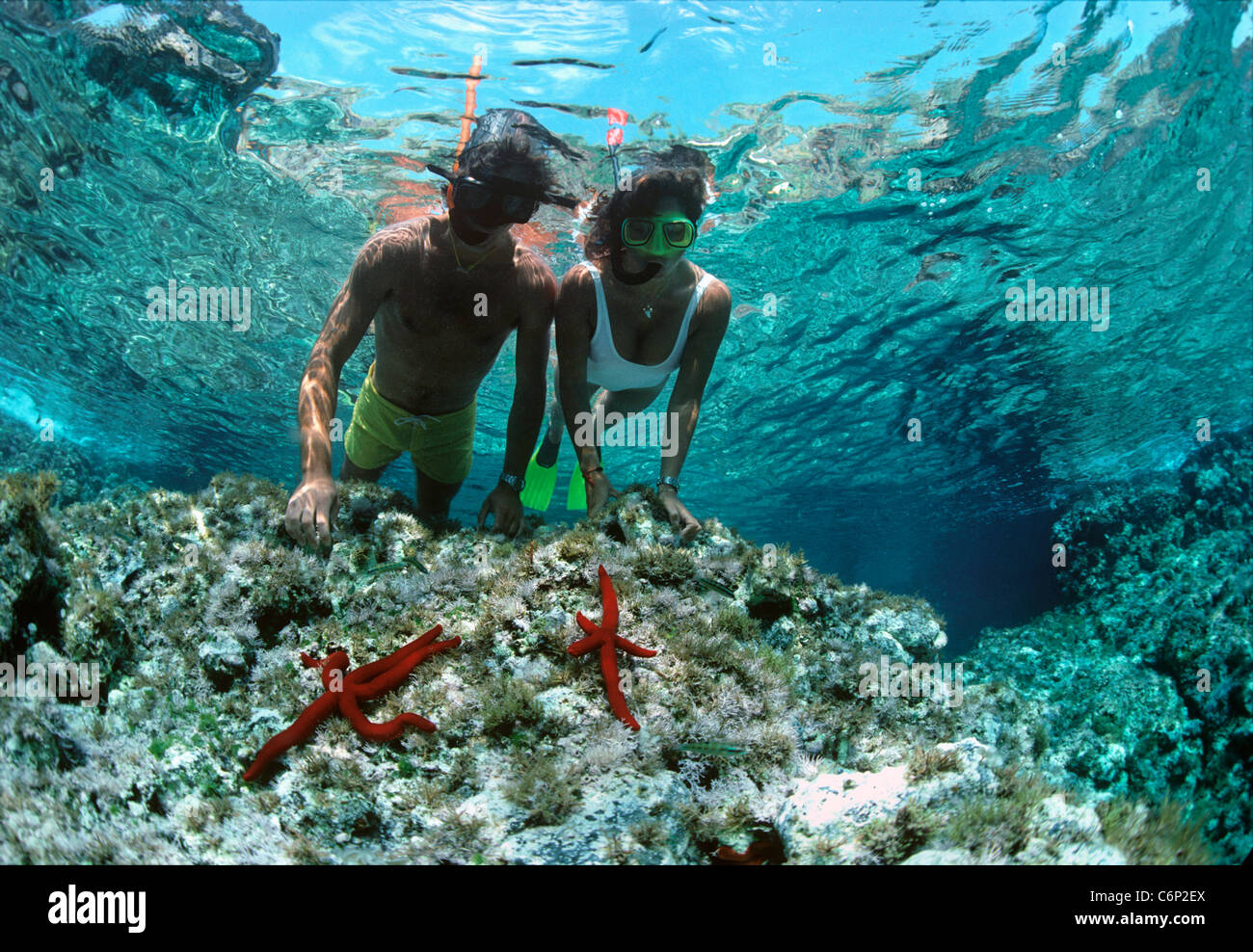 Divers snorkeling on coral table near purple starfish (Ophidiaster ophidianus). Ustica Island, Sicily, Italy, Mediterranean Stock Photo