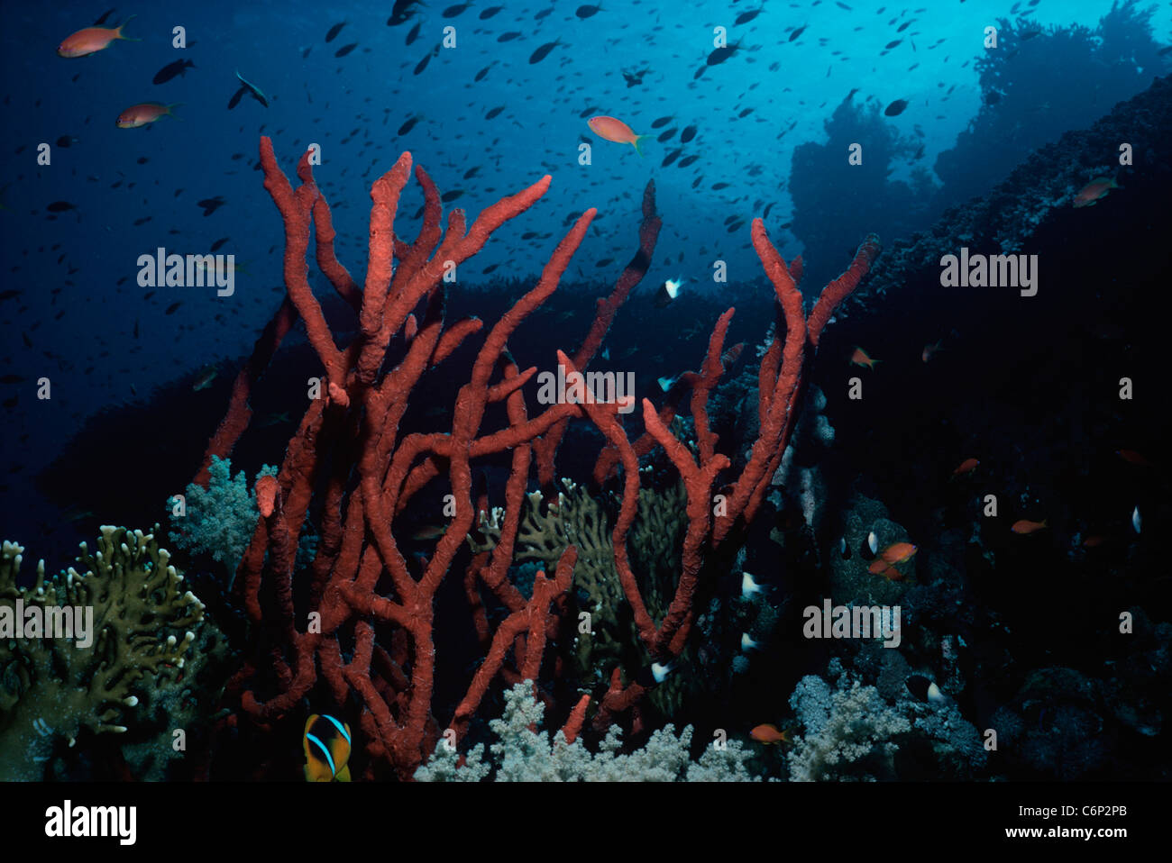 Red Finger Sponge (Latrunculia corticata) on coral reef with Anthias Goldfish (Anthias squamipinnis). Red Sea, Egypt - Stock Image