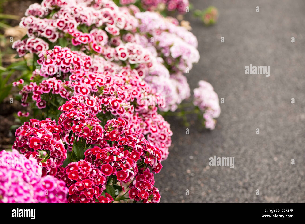 Sweet Williams, Dianthus Barbatus 'Auricula Eyed Mixed', in flower - Stock Image