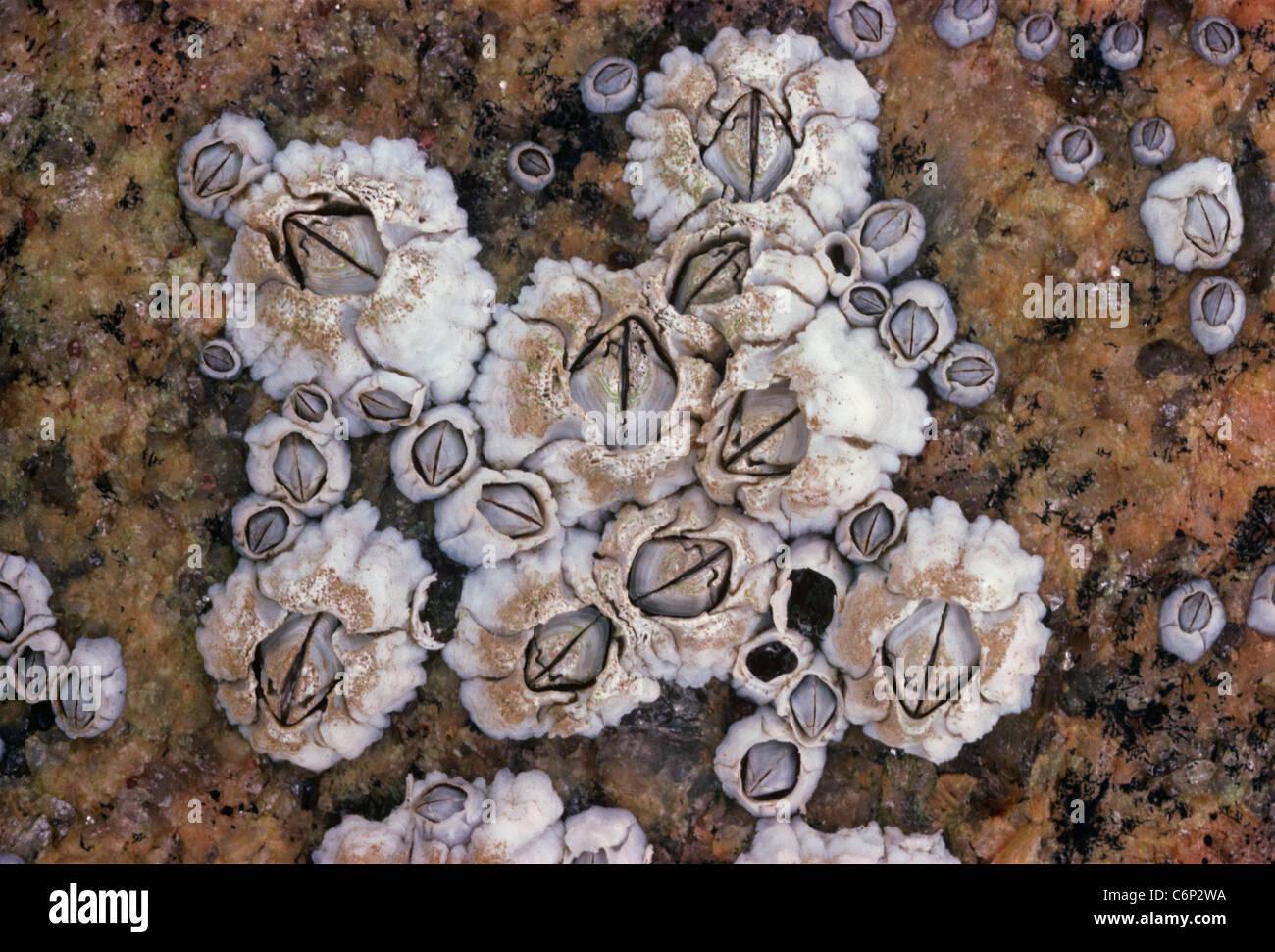 Colony of Acorn Barnacles (Semibalanus balanoides) filter feeding. Galapagos Islands, Ecuador, Pacific Ocean Stock Photo