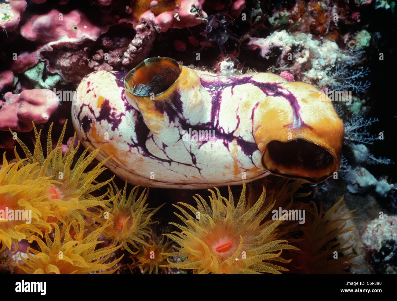 Ink-spot sea-squirt (Polycarpa aurata), with Tube corals (Tubastrea faulkneri). Papua New Guinea, Bismarck Sea - Stock Image