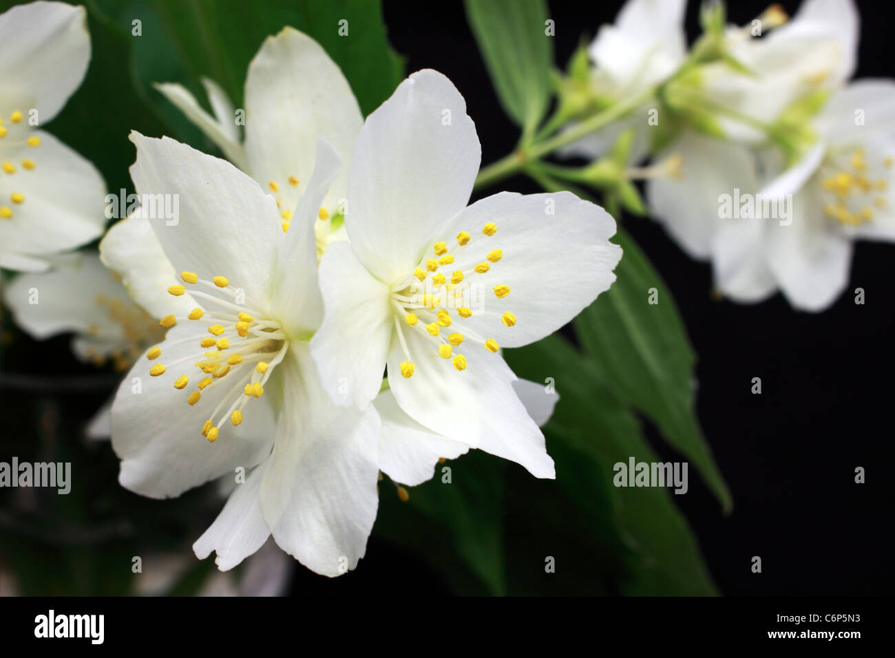 Jasmine flower stock photos jasmine flower stock images alamy white jasmine flowers close up stock image izmirmasajfo