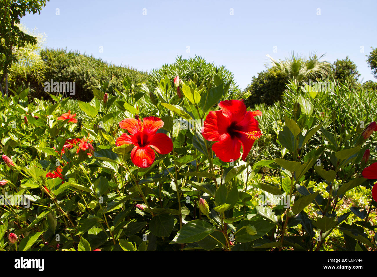 Red Tropical Hibiscus Flowers Blue Stock Photos & Red Tropical ...