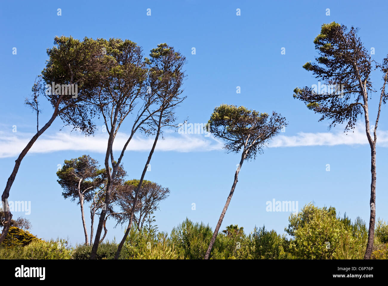 Lofty trees against the blue sky in windy weather. Cascais, Portugal. Stock Photo