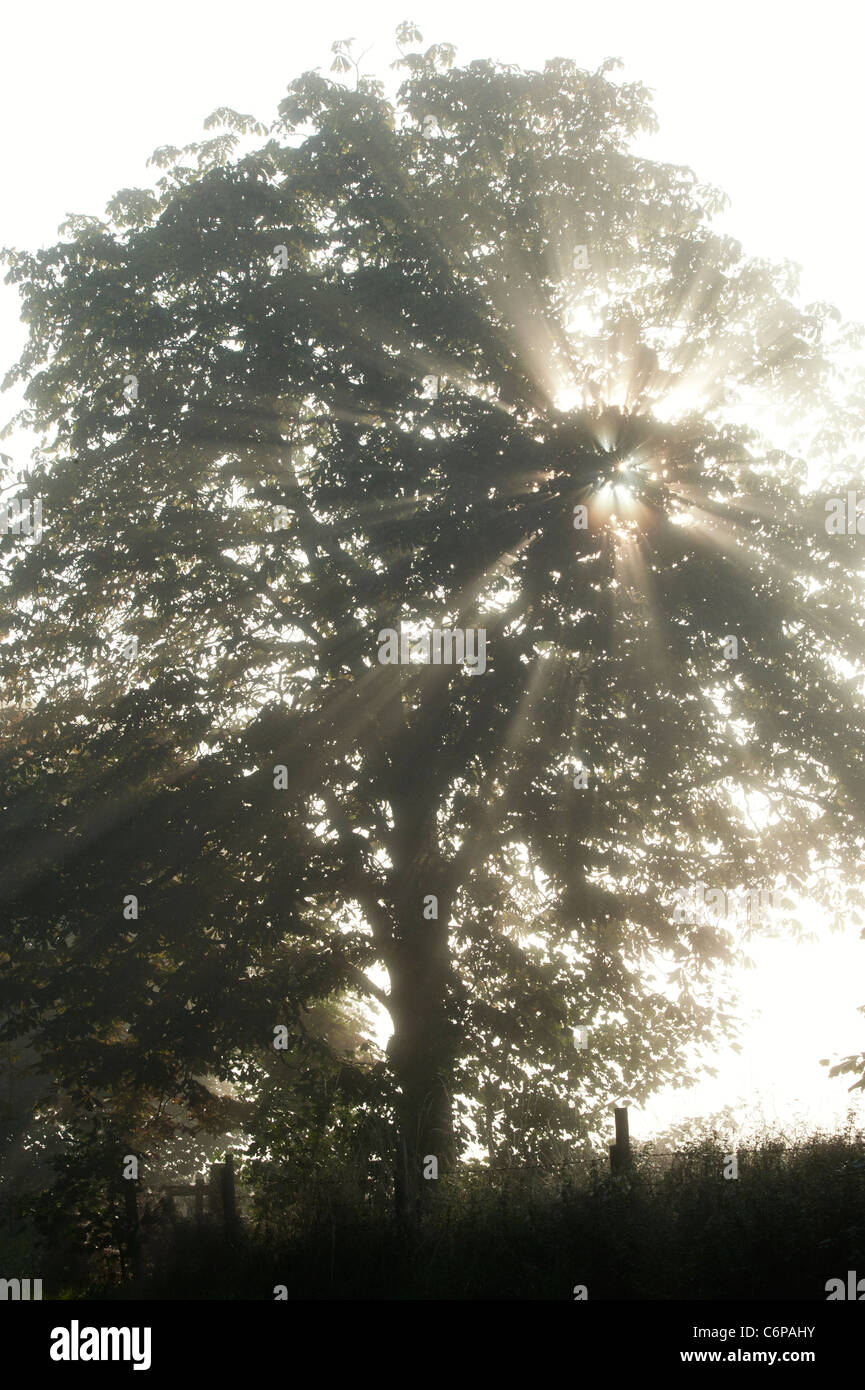 Sun rays through Horse chestnut tree in early morning misty English countryside - Stock Image