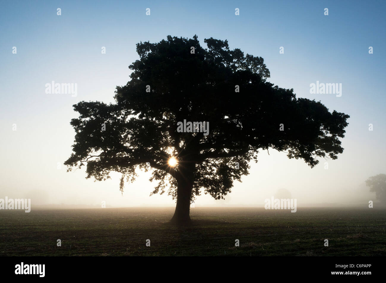 Quercus. Oak Tree silhouette at sunrise in the English morning mist - Stock Image