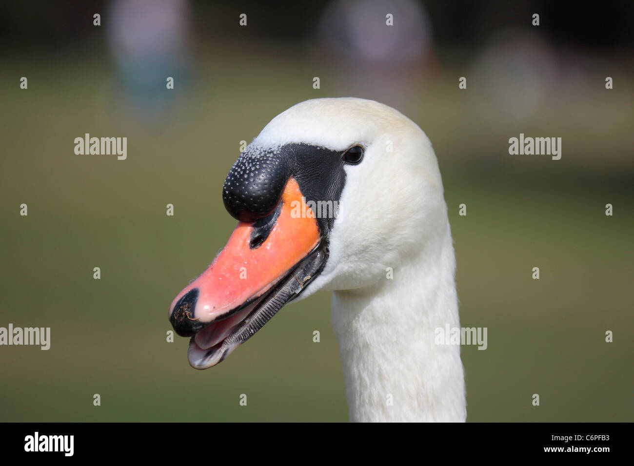 Close up of a white male mute swan's head with its beak slightly open revealing its tongue and the serrations - Stock Image