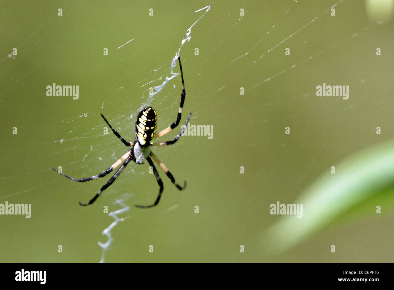 A Black and Yellow Garden Spider also known as a Writing Spider or a Corn Spider, Argiope aurantia. - Stock Image