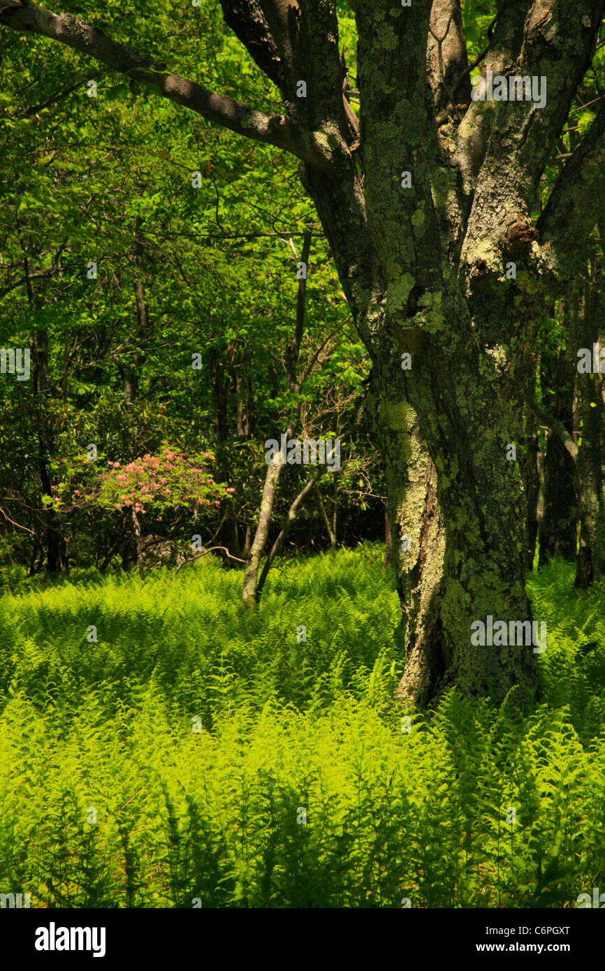 Hidden PassageTrail, Flat Rock and Roaring Plains, Dolly Sods, Dry Creek, West Virginia, USA - Stock Image