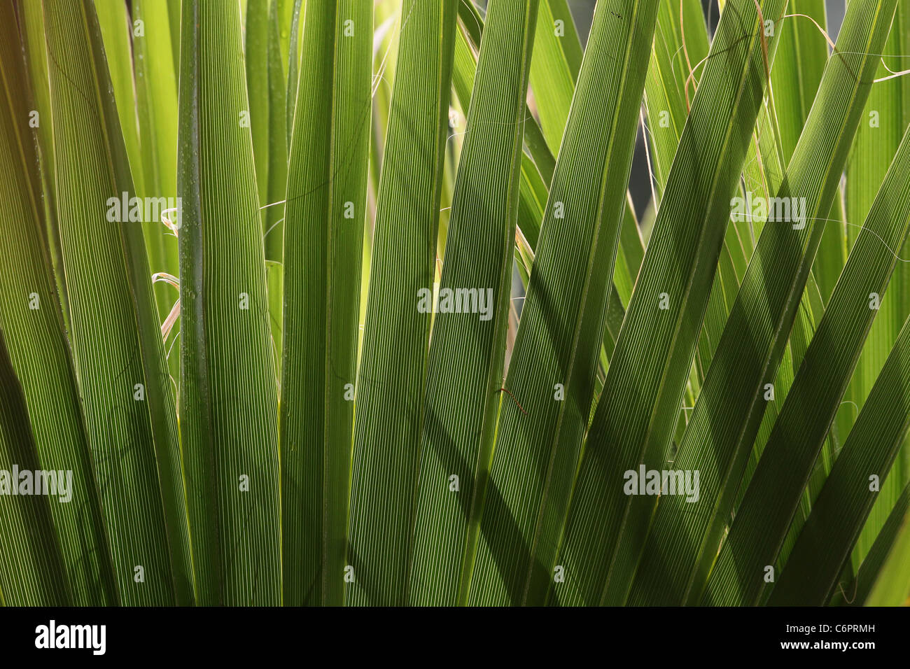 Sunlight shining through overlapping palm fronds - Stock Image