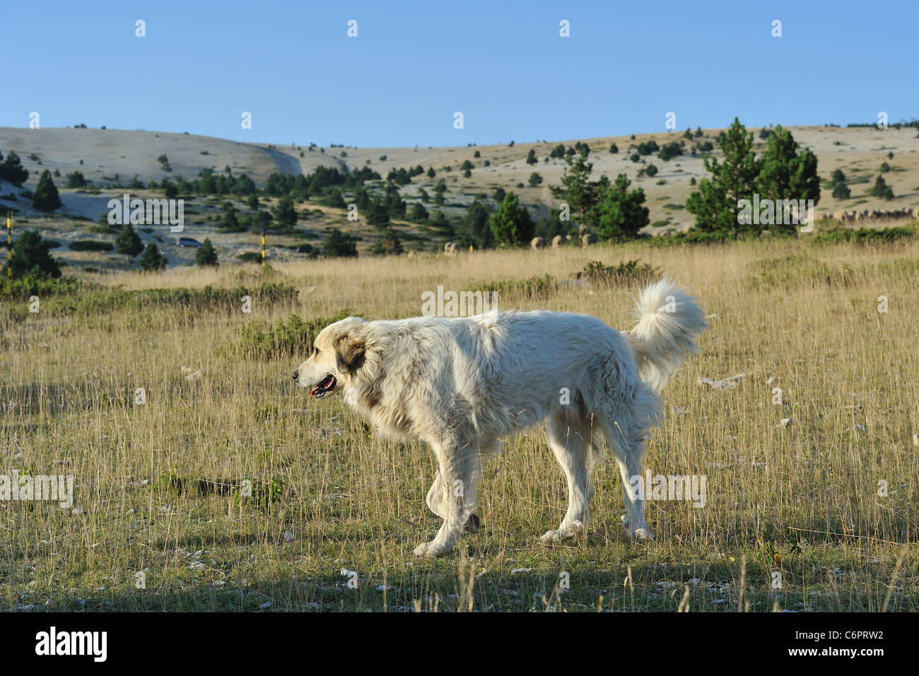 Pyrenean mountain dog - Great Pyrenees (Canis familiaris) guarding sheep on the Mont Ventoux in summer - Stock Image