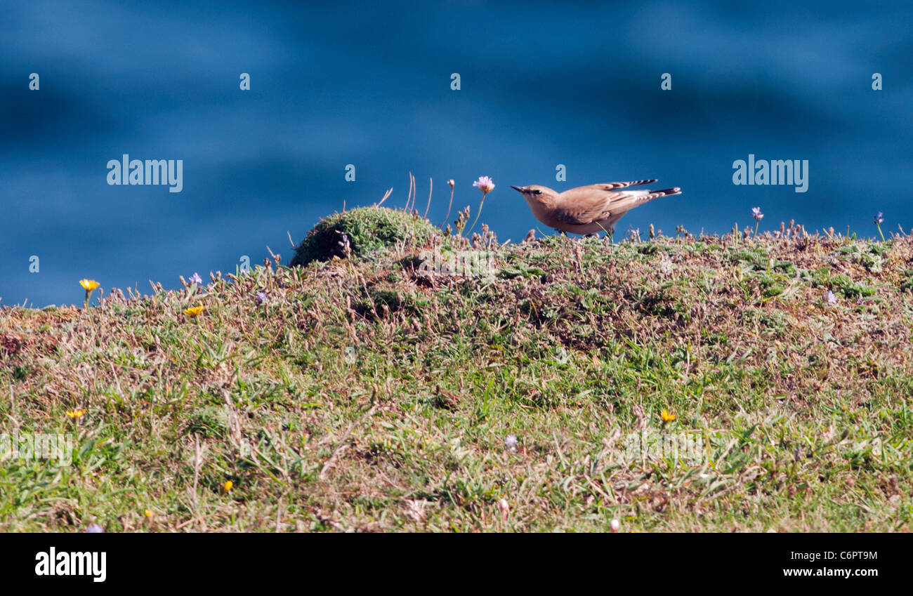 Female Wheatear (Oenanthe oenanthe) searching for insect on South Devon coastal grassland - Stock Image