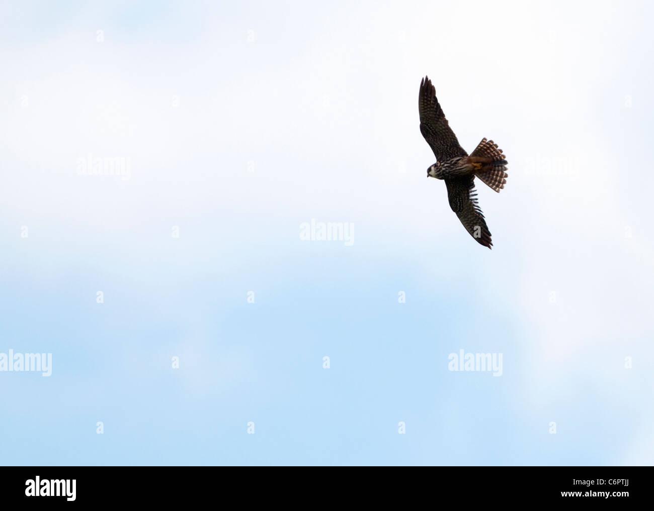 Peregrine Falcon (Falco peregrinus) in flight above South Devon countryside - Stock Image