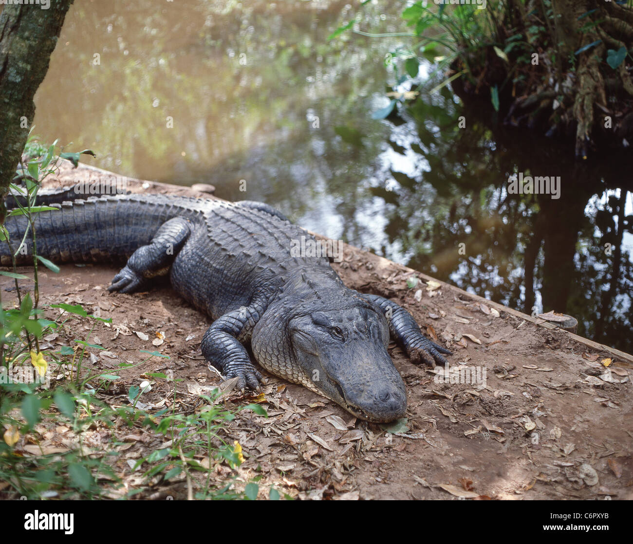 Alligators resting by creek, Everglades National Park, Florida, United States of America - Stock Image