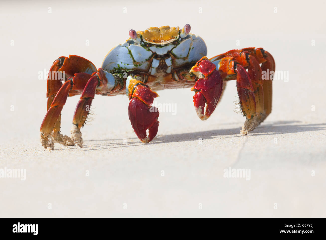 Sally Lightfoot Crab (Grapsus grasps) on the beach in Galapagos National Park - Stock Image
