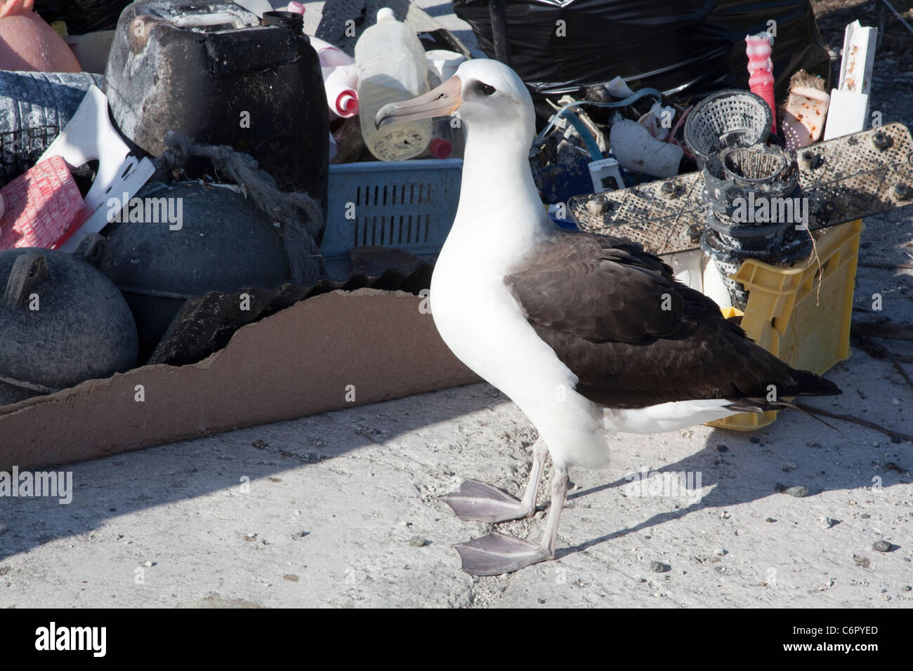 Laysan Albatross beside marine debris collected by tourists to prevent the plastic from harming seabirds or other - Stock Image