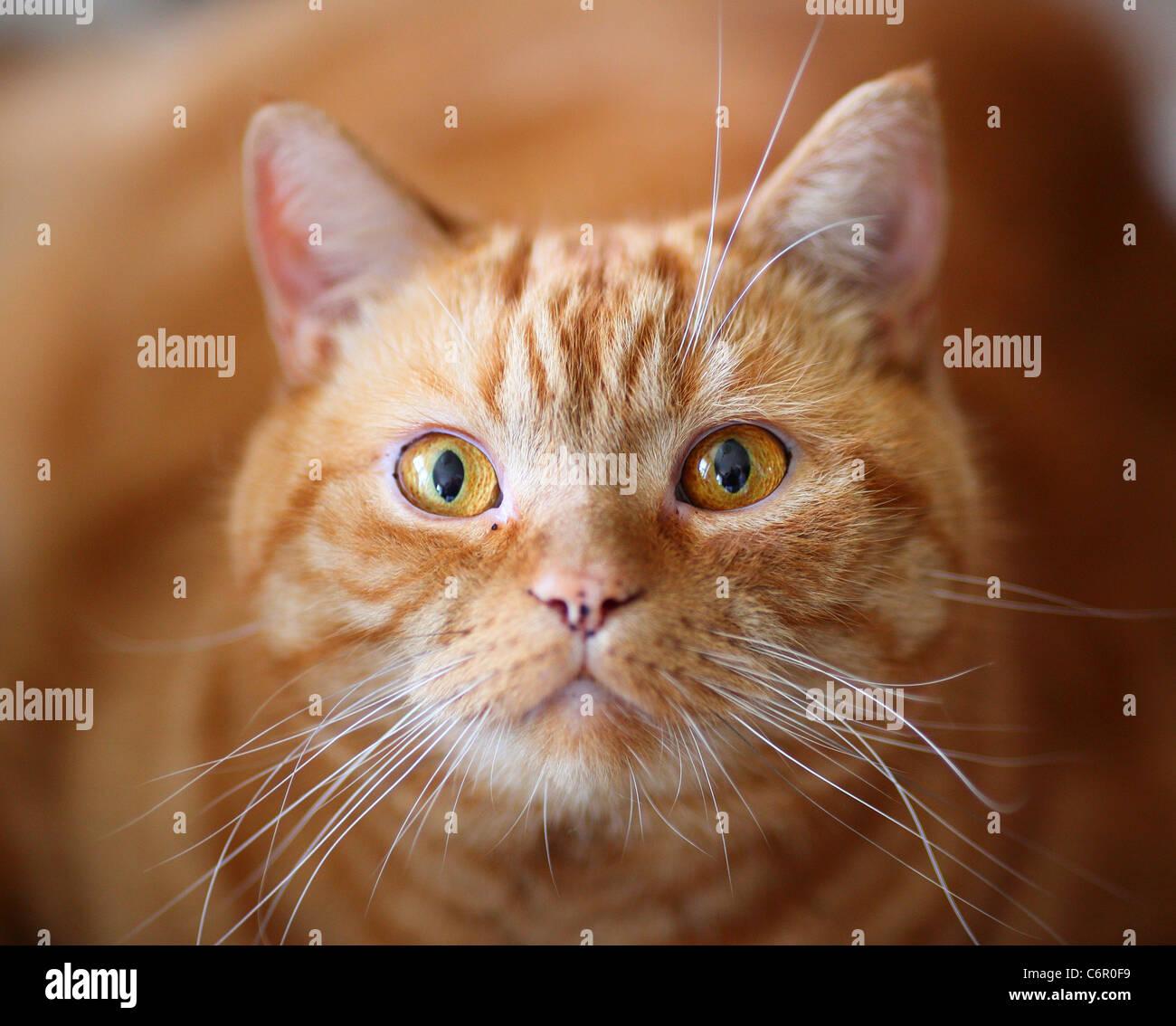 Ginger british shorthair cat  gazing gaze stare - Stock Image