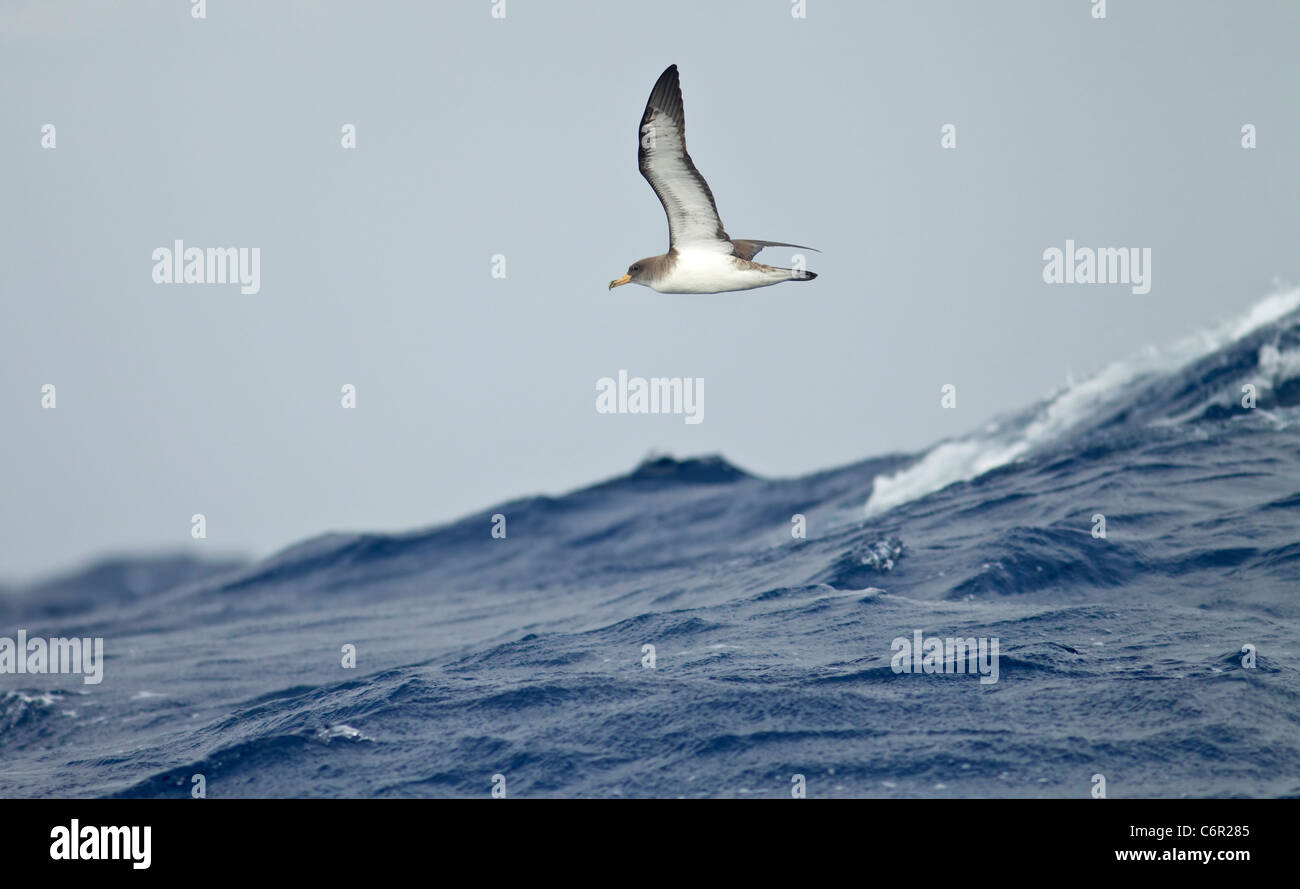 Corys Shearwater Diomeda calonectris in flight at sea over waves - Stock Image