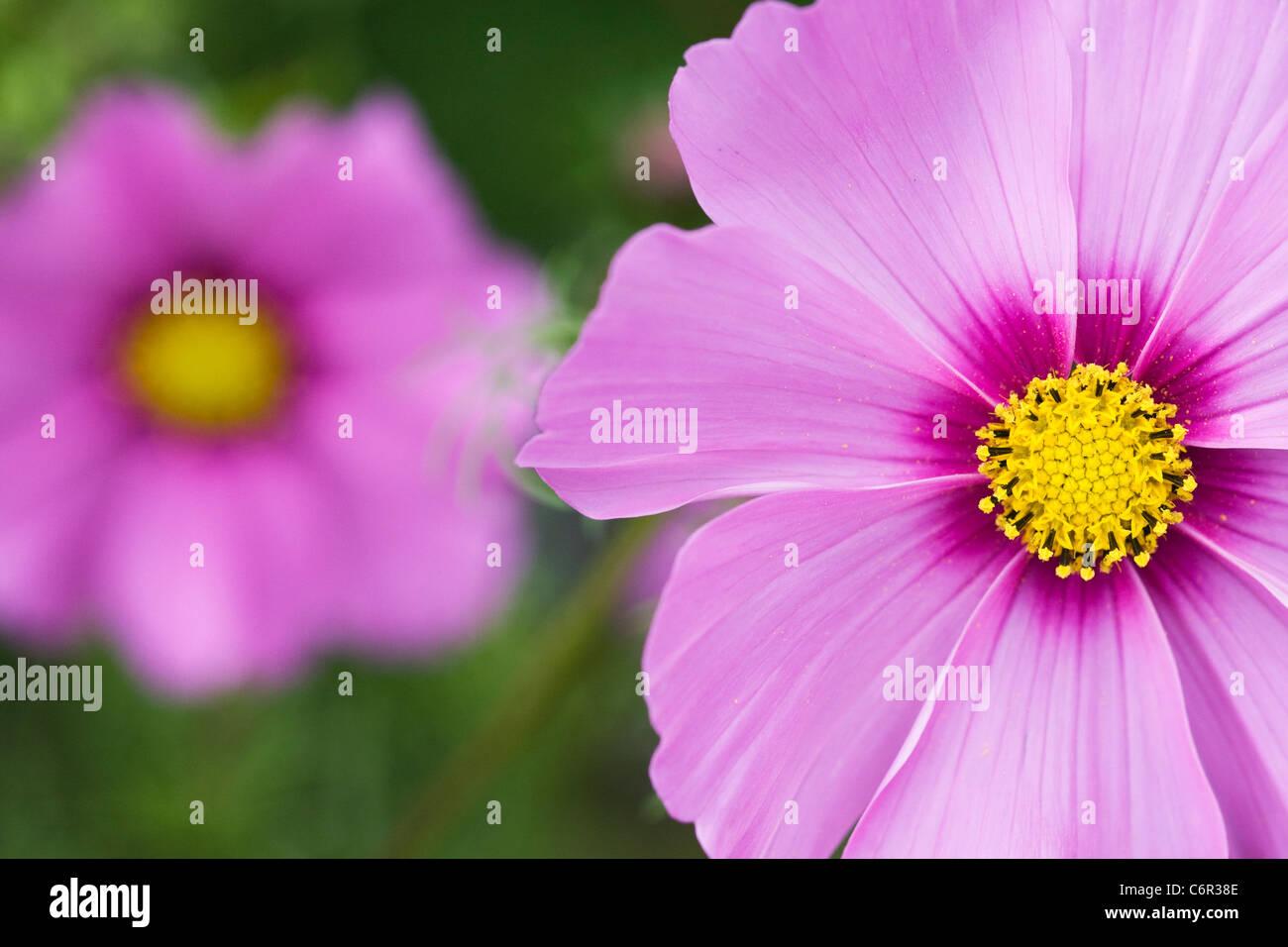 Cosmos bipinnatus flower. - Stock Image