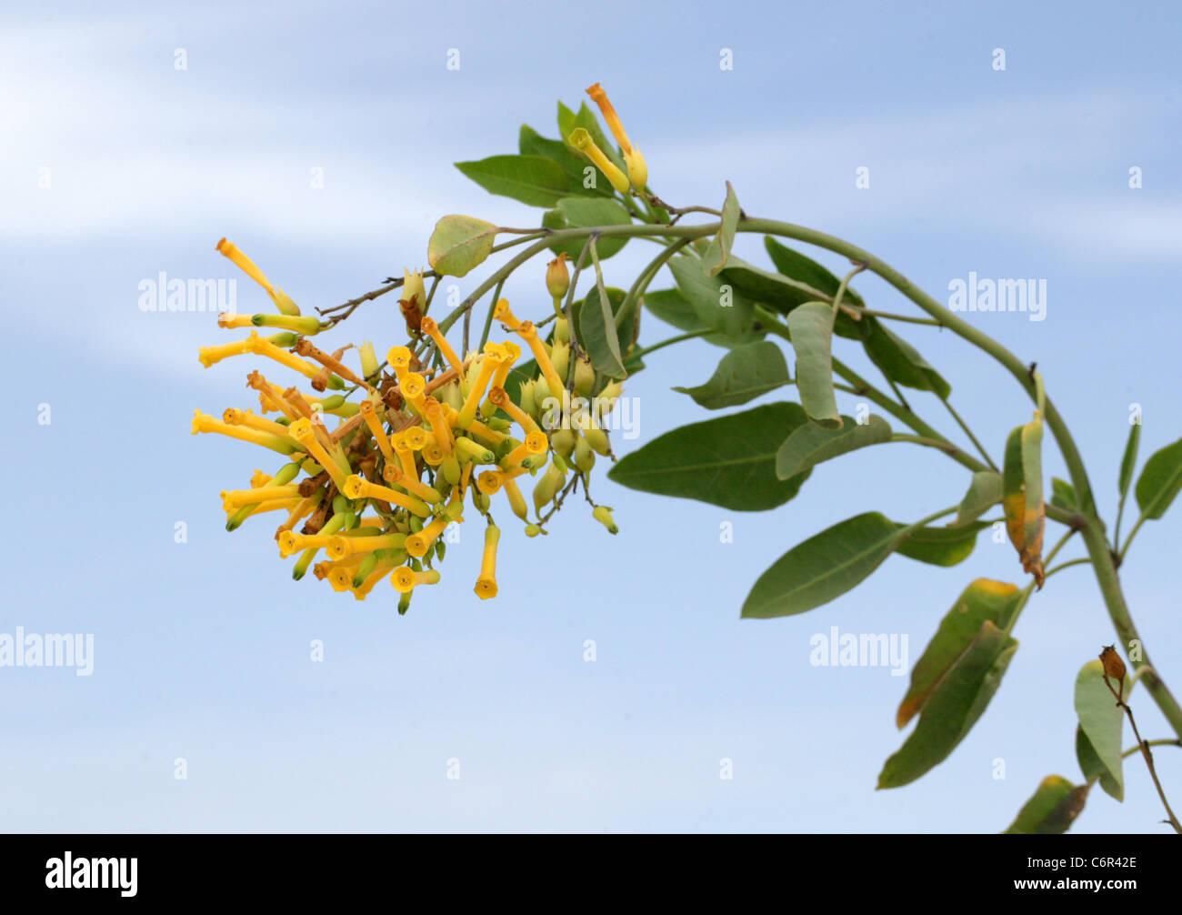 Flowers of the Mustard Tree or Tree Tobacco or Brazilian Tree Tobacco, Nicotiana glauca, Corralejo National Park, - Stock Image