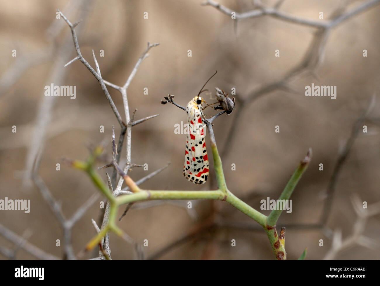 Crimson Speckled Moth, Utetheisa pulchella, Arctiinae, Arctiidae, Lepidoptera. Corellejo Nature Reserve, Fuerteventura, - Stock Image