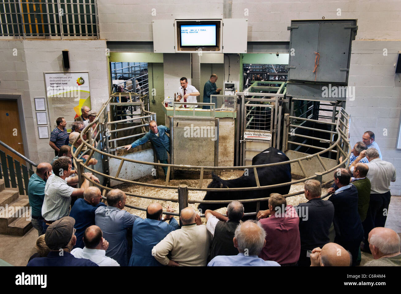 Cattle auction ring at Bakewell livestock market, Derbyshire - Stock Image