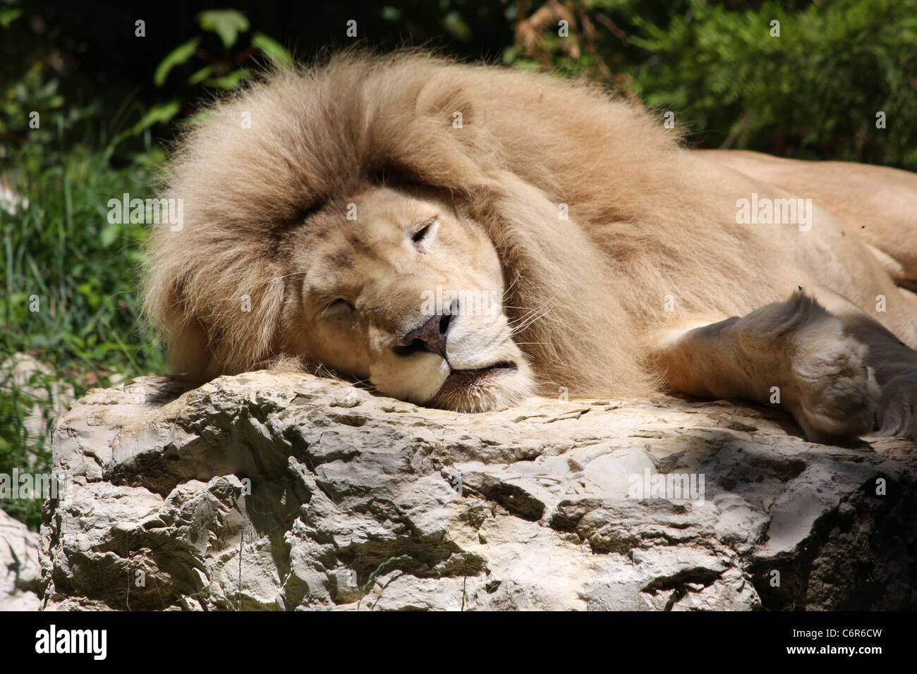 Sleeping Lion on Rock - Stock Image