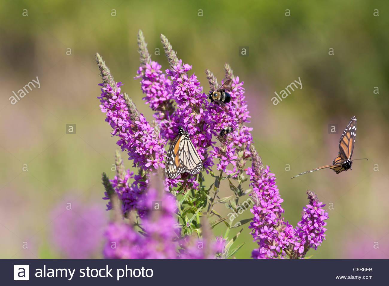 Monarch Butterflies Danaus plexippus feeding on Purple Loosestrife in Eastpoint Park in Toronto Ontario Canada - Stock Image