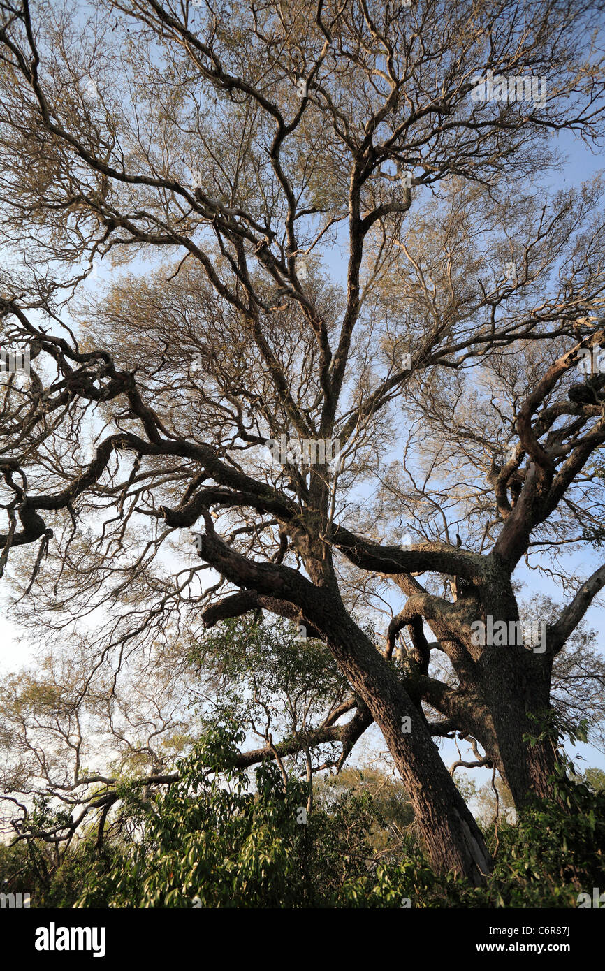 Large old Lebombo wattle tree in sand forest - Stock Image
