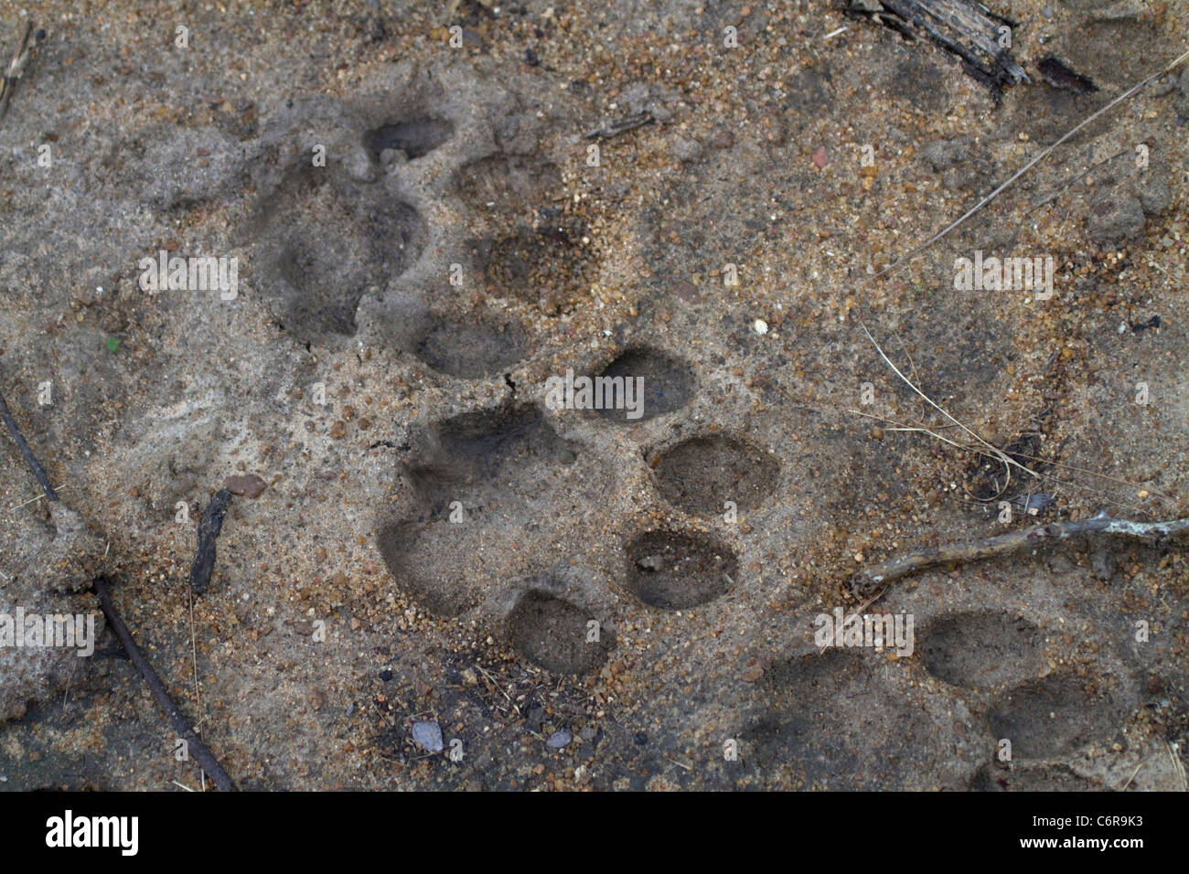 Lion tracks in soft sand - Stock Image